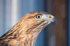 在蓝色背景的鹰鵟鸟骄傲的画象 免版税图库摄影