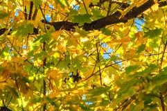 在蓝色背景的黄色叶子 免版税库存照片