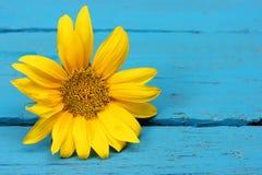 在蓝色背景的黄色向日葵 免版税库存照片