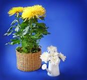 在蓝色背景的黄色和白色菊花 库存照片