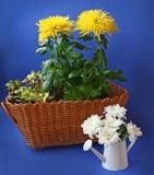 在蓝色背景的黄色和白色菊花 免版税库存图片