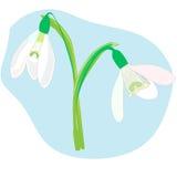 在蓝色背景的Snowdrops 春天传染媒介例证 免版税库存图片