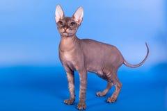 在蓝色背景的Sphynx猫 库存图片