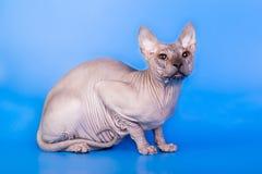 在蓝色背景的Sphynx猫 图库摄影