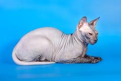 在蓝色背景的Sphynx猫 免版税图库摄影