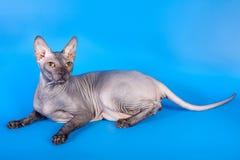 在蓝色背景的Sphynx猫 免版税库存图片