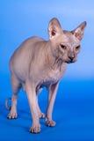在蓝色背景的Sphynx猫 免版税库存照片