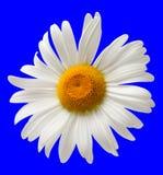 在蓝色背景隔绝的春黄菊 库存照片