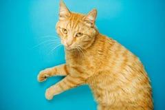 在蓝色背景隔绝的粗心大意的红头发人猫猫 库存照片