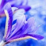 在蓝色背景,对生活的所有美妙的片刻的花卉贺卡的华丽的美丽如画的明亮的虹膜花 免版税图库摄影