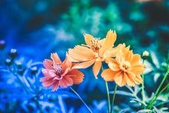 在蓝色背景,超现实的颜色的三朵五颜六色的雏菊花 库存图片