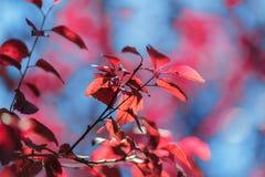 在蓝色自然本底的红色叶子 美丽的叶子 秋天五颜六色的结构树 生态和环境概念 库存图片