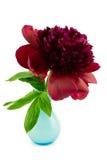在蓝色花瓶的红色牡丹 库存图片