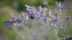 在蓝色花的土蜂切花蜜 Humblebee从一朵花飞行到另一个 股票视频