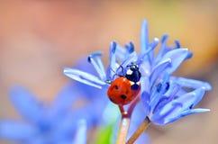 在蓝色花的瓢虫 图库摄影
