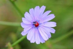 在蓝色花的瓢虫 免版税库存图片