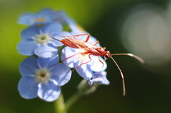 在蓝色花的红色猫鼬黄蜂 免版税库存图片