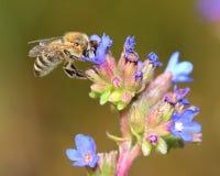 在蓝色花的蜂 免版税库存照片