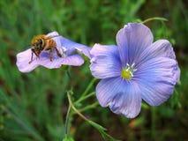 在蓝色花的蜜蜂 库存照片
