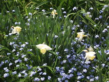 在蓝色花的郁金香 免版税库存图片