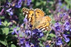 在蓝色花的黑脉金斑蝶 图库摄影