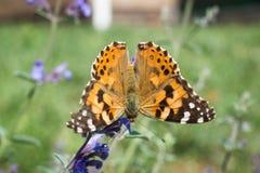 在蓝色花的黑脉金斑蝶 库存图片