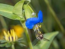 在蓝色花的Hoverflies 图库摄影