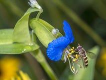 在蓝色花的Hoverflies 库存照片