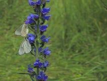 在蓝色草本的两只白色蝴蝶 免版税图库摄影