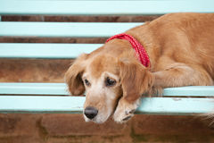 在蓝色长凳的狗 库存照片