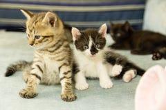 在蓝色长沙发的小猫 免版税库存照片