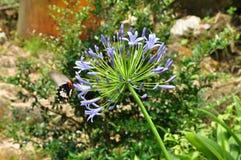 在蓝色非洲的美丽的Pipilio polytes蝴蝶 免版税库存图片