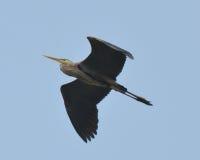 在蓝色飞行极大的苍鹭之下 库存照片