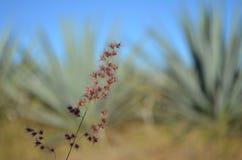 在蓝色龙舌兰领域的杂草 免版税库存照片