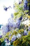 在蓝色紫色颜色的紫藤palnt在绽放 免版税库存照片