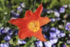 在蓝色蝴蝶花中的红色郁金香 库存图片