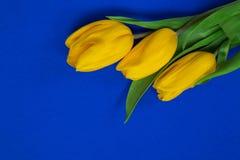 在蓝色backgroun的黄色郁金香 库存照片