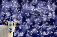 在蓝色bokeh背景的山羊头 免版税库存照片