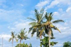 在蓝色cloudey天空的可可椰子树在一个热带海岛巴厘岛,印度尼西亚上 免版税库存照片
