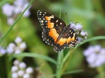 在蓝色Mistflower的毗邻的补丁蝴蝶 免版税库存图片