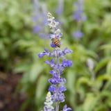 在蓝色salvia花的蜂在庭院里 库存图片