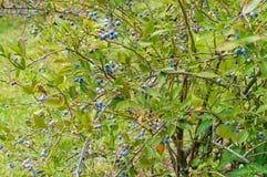 在蓝莓灌木的成熟蓝莓 库存图片