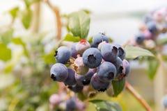 在蓝莓灌木的有机蓝莓 免版税库存图片