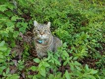 在蓝莓灌木的猫 图库摄影
