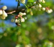在蓝莓的蜂 免版税图库摄影