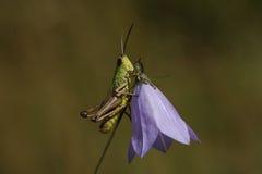 在蓝铃花花的蚂蚱 库存图片