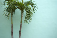 在蓝绿色墙壁上的棕榈树 库存图片