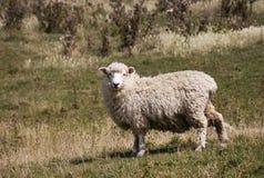 在蓟中的一只绵羊 免版税库存图片