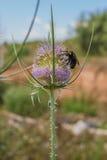 在蓟植物花的长毛的花黄蜂 免版税库存图片