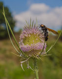 在蓟植物花的长毛的花黄蜂 库存图片